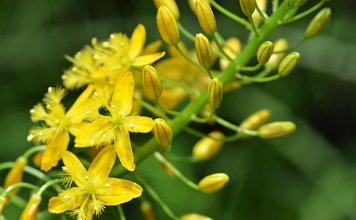 Bulbine Natalensis and Testosterone